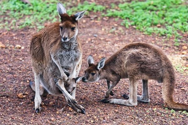 Eine Känguru Familie zum bestaunen