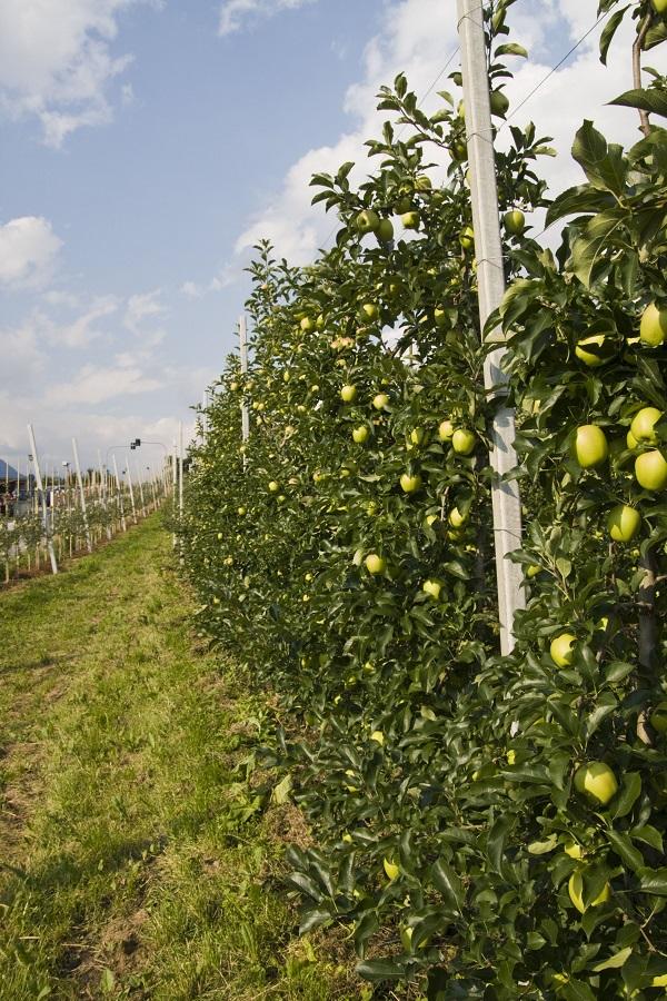 Äpfel aus Meran